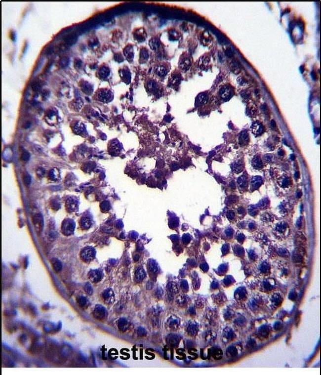 GAGE12H Rabbit anti-Human, Polyclonal, Invitrogen 400 µL; Unconjugated