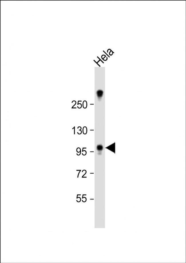 ZCCHC14 Rabbit anti-Human, Mouse, Polyclonal, Invitrogen 400 µL; Unconjugated