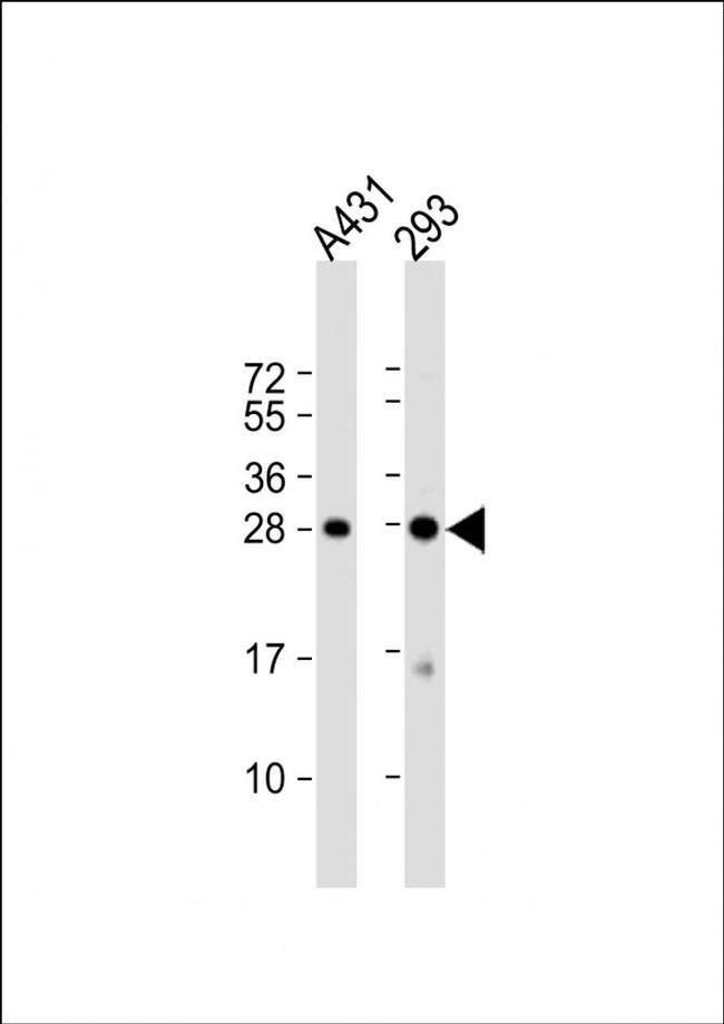H1FX Rabbit anti-Human, Polyclonal, Invitrogen 400 µL; Unconjugated