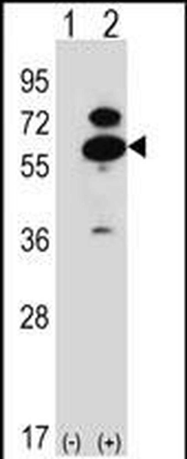 OXSR1 Rabbit anti-Human, Mouse, Polyclonal, Invitrogen 400 µL; Unconjugated