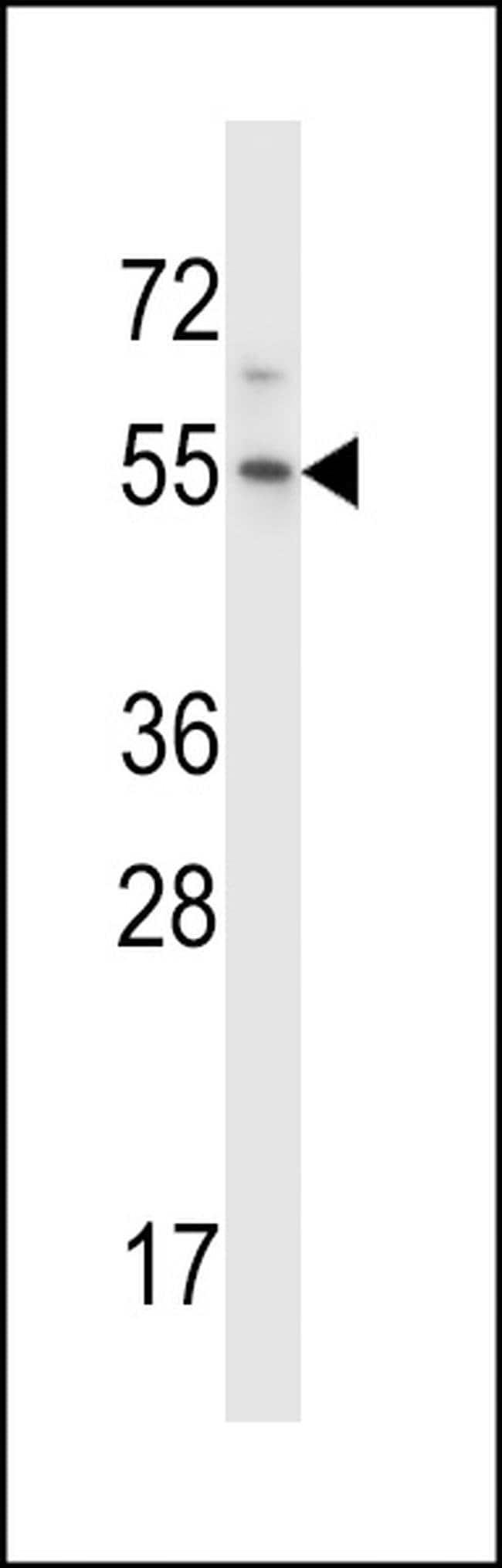 HM13 Rabbit anti-Human, Polyclonal, Invitrogen 400 µL; Unconjugated