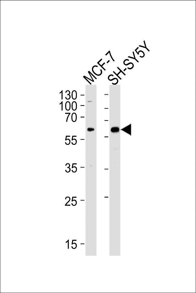 ZBTB22 Rabbit anti-Human, Polyclonal, Invitrogen 400 µL; Unconjugated