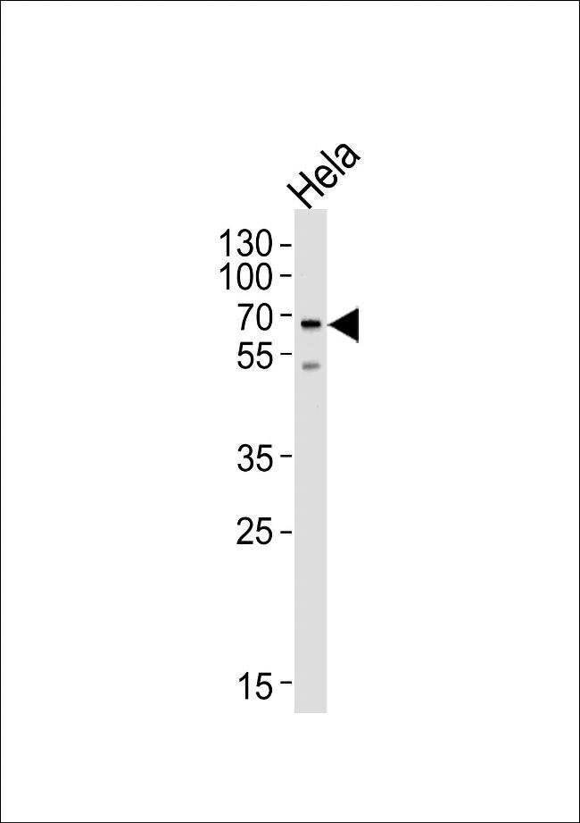 NAP1L2 Rabbit anti-Human, Polyclonal, Invitrogen 400 µL; Unconjugated