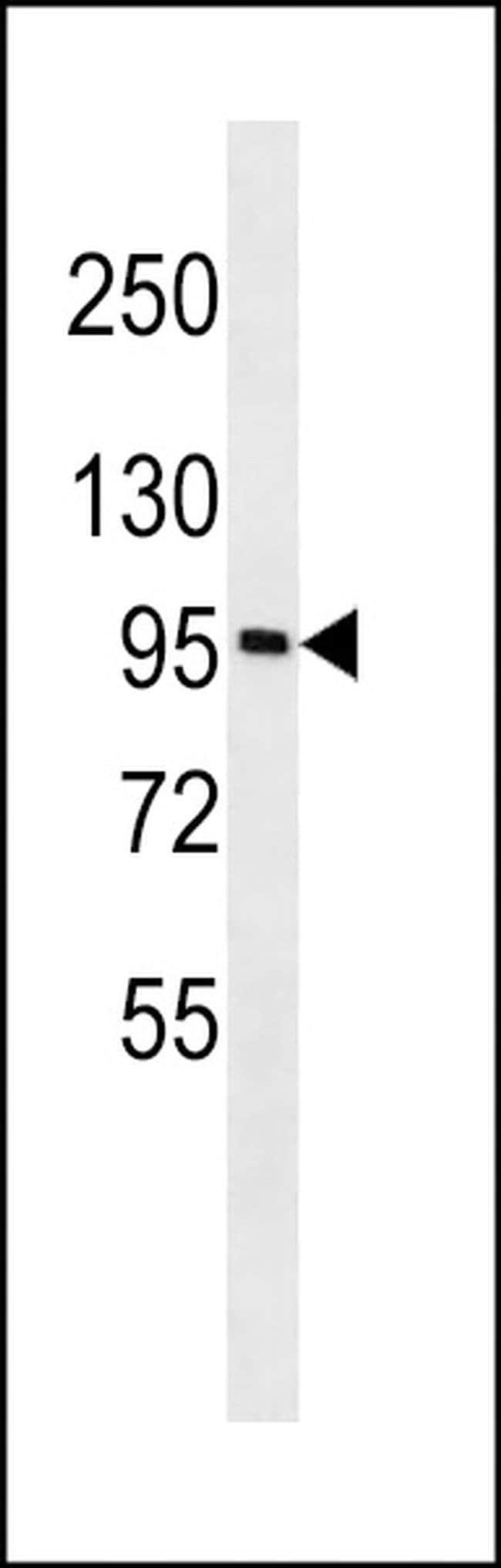 GOLGA6A Rabbit anti-Human, Polyclonal, Invitrogen 400 µL; Unconjugated