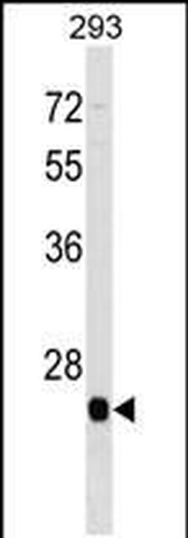 BTG4 Rabbit anti-Human, Polyclonal, Invitrogen 400 µL; Unconjugated