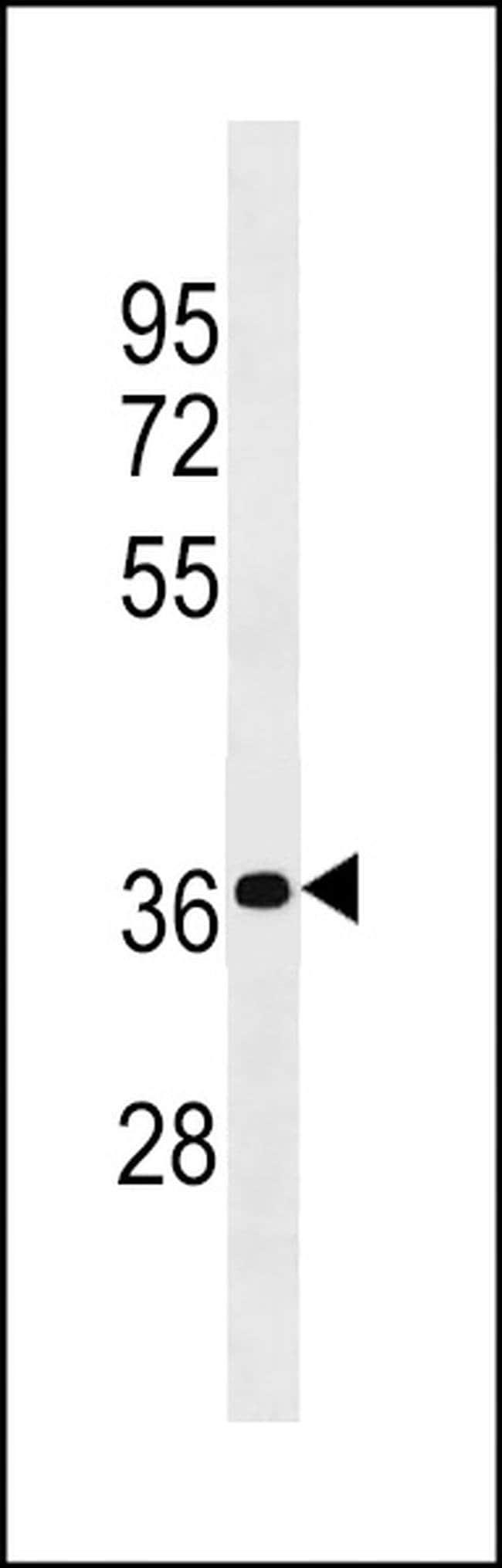 PSG4 Rabbit anti-Human, Polyclonal, Invitrogen 400 µL; Unconjugated