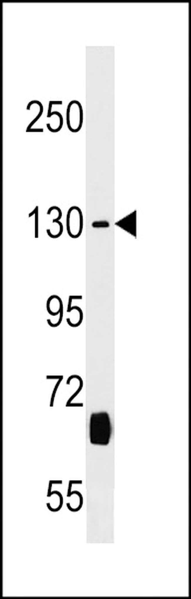 KIF27 Rabbit anti-Human, Polyclonal, Invitrogen 400 µL; Unconjugated