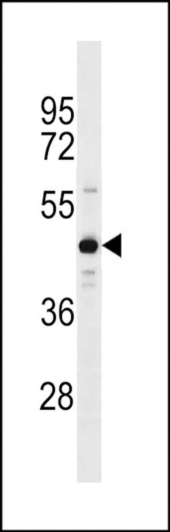ZNF883 Rabbit anti-Human, Polyclonal, Invitrogen 400 µL; Unconjugated