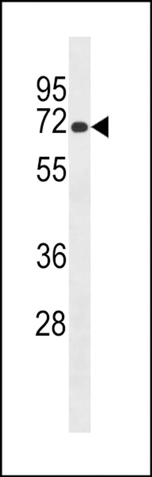 Lrmp Rabbit anti-Mouse, Polyclonal, Invitrogen 400 µL; Unconjugated