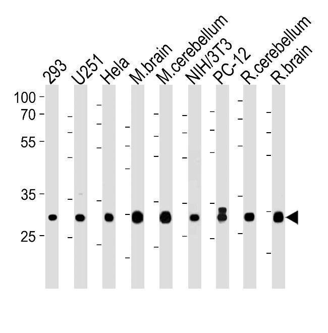 PITPN Rabbit anti-Human, Mouse, Rat, Polyclonal, Invitrogen 400 µL;