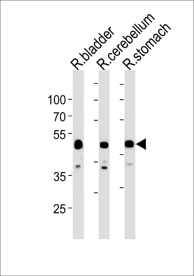CBWD1 Rabbit anti-Rat, Polyclonal, Invitrogen 400 µL; Unconjugated