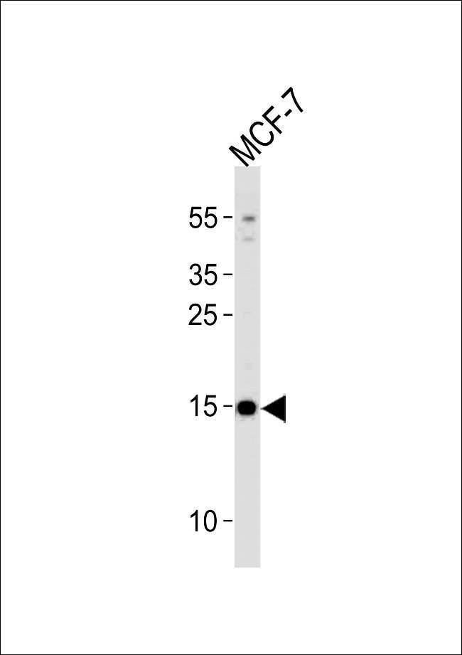 POLR2J3 Rabbit anti-Human, Polyclonal, Invitrogen 400 µL; Unconjugated
