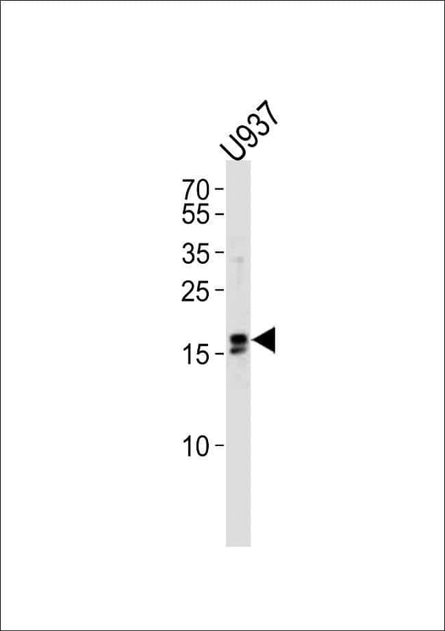 IQCF6 Rabbit anti-Human, Polyclonal, Invitrogen 400 µL; Unconjugated