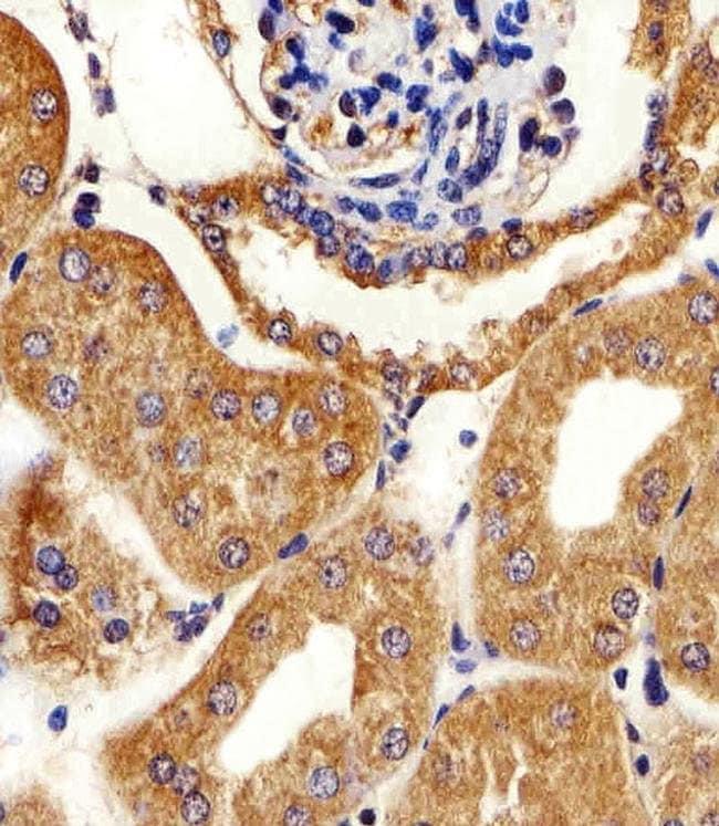 Adenylate Kinase 4 Rabbit anti-Human, Mouse, Polyclonal, Invitrogen 400