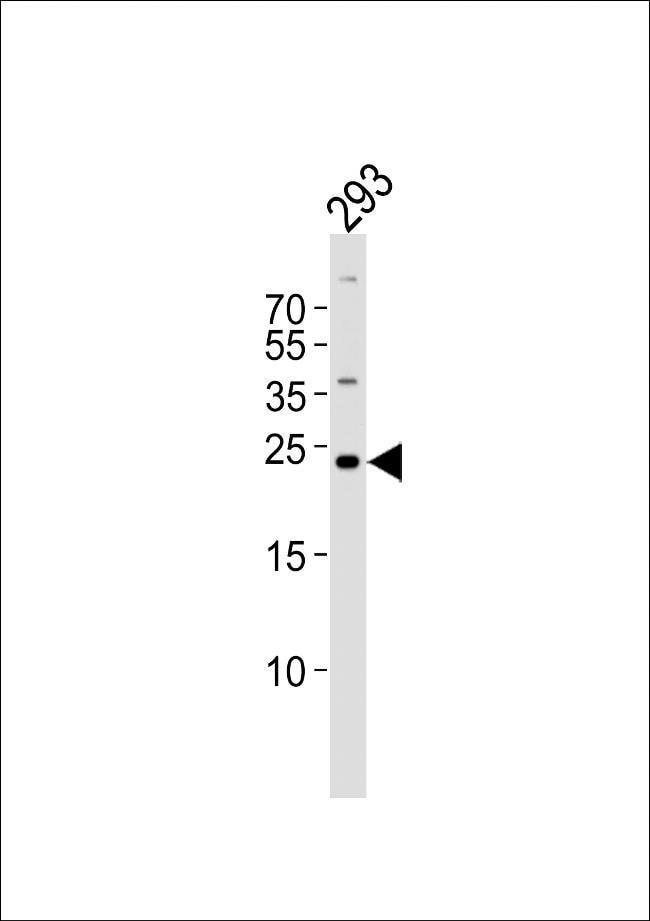 GADD45GIP1 Rabbit anti-Human, Polyclonal, Invitrogen 400 µL; Unconjugated
