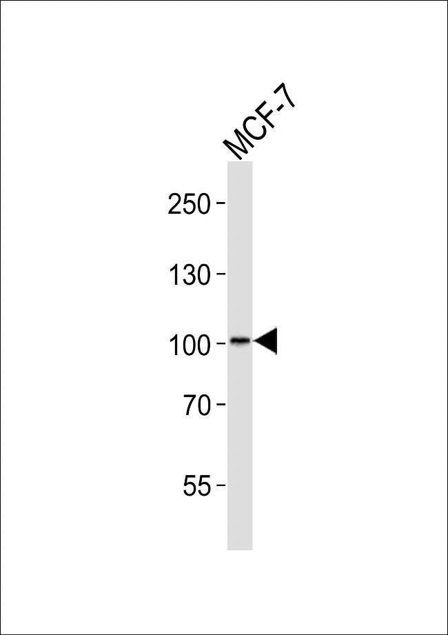MORC2 Rabbit anti-Human, Polyclonal, Invitrogen 400 µL; Unconjugated