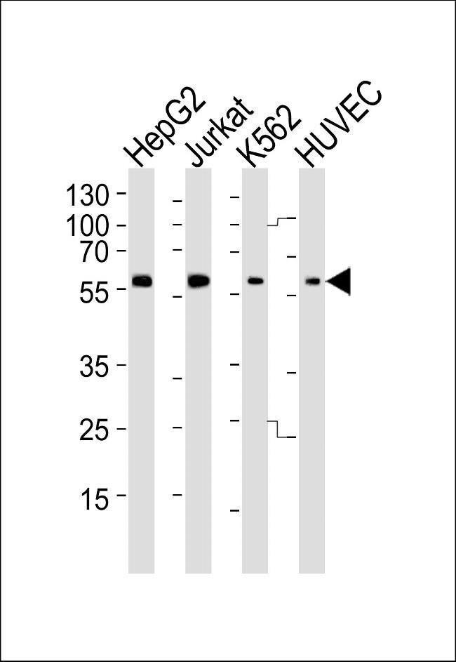 SHB Rabbit anti-Human, Polyclonal, Invitrogen 400 µL; Unconjugated