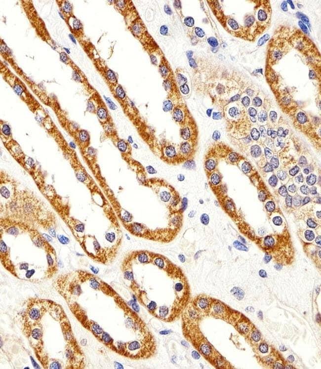 CYS1 Rabbit anti-Human, Mouse, Polyclonal, Invitrogen 400 µL; Unconjugated