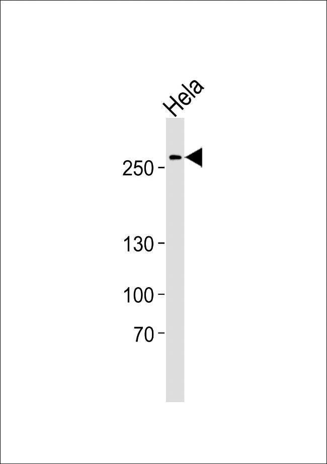 AHCTF1 Rabbit anti-Human, Polyclonal, Invitrogen 400 µL; Unconjugated