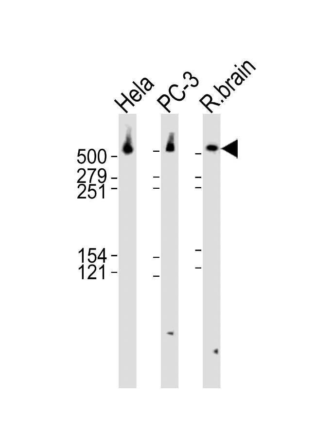 DYNC1H1 Rabbit anti-Human, Rat, Polyclonal, Invitrogen 400 µL; Unconjugated