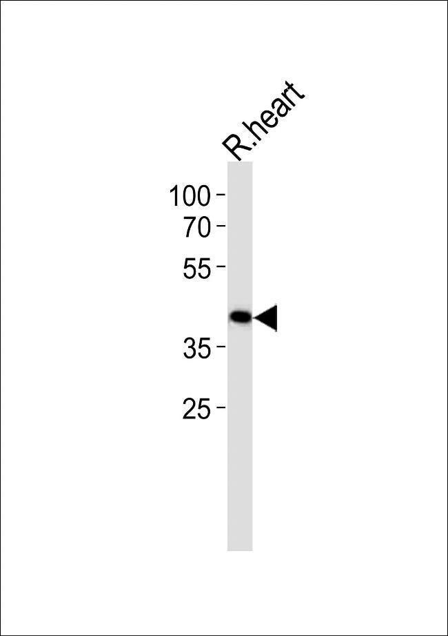 TOMM40L Rabbit anti-Rat, Polyclonal, Invitrogen 400 µL; Unconjugated