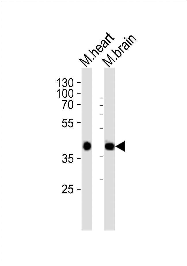 Sbk1 Rabbit anti-Mouse, Polyclonal, Invitrogen 400 µL; Unconjugated