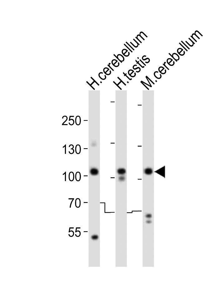 SKOR2 Rabbit anti-Human, Mouse, Polyclonal, Invitrogen 400 µL; Unconjugated