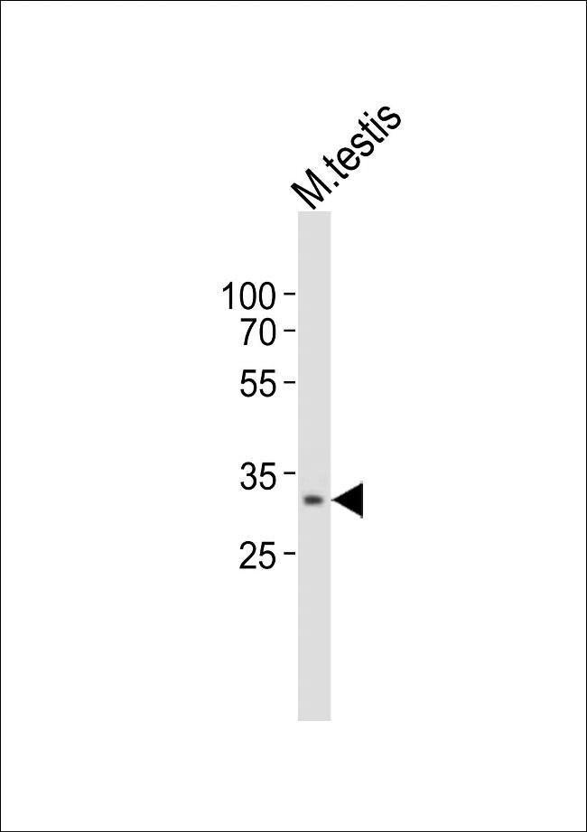 TOMM34 Rabbit anti-Mouse, Polyclonal, Invitrogen 400 µL; Unconjugated
