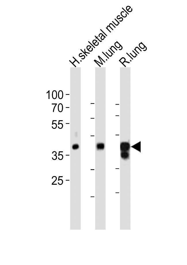 LMCD1 Rabbit anti-Human, Mouse, Rat, Polyclonal, Invitrogen 400 µL;