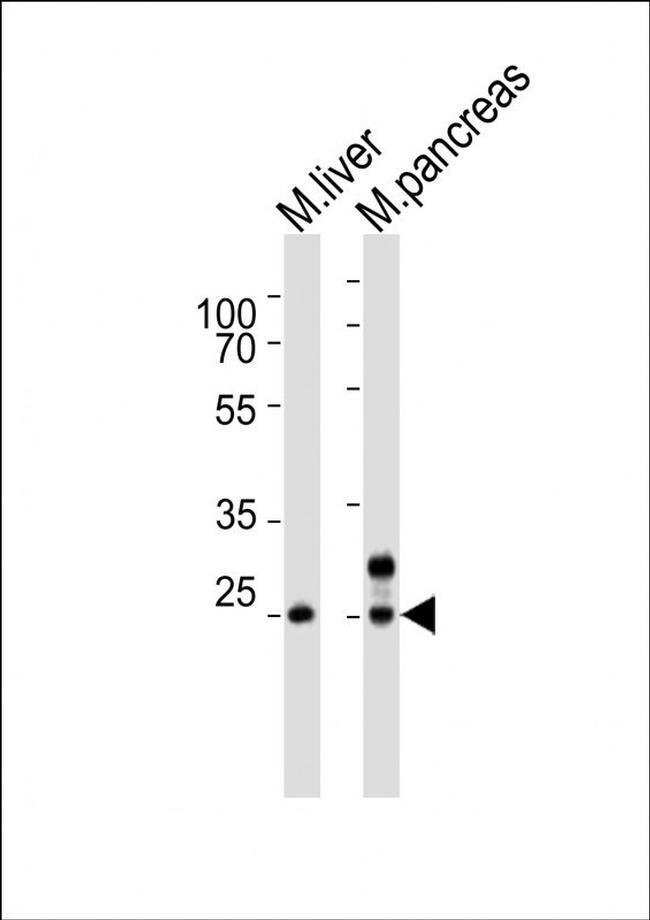 Noto Rabbit anti-Mouse, Polyclonal, Invitrogen 400 µL; Unconjugated