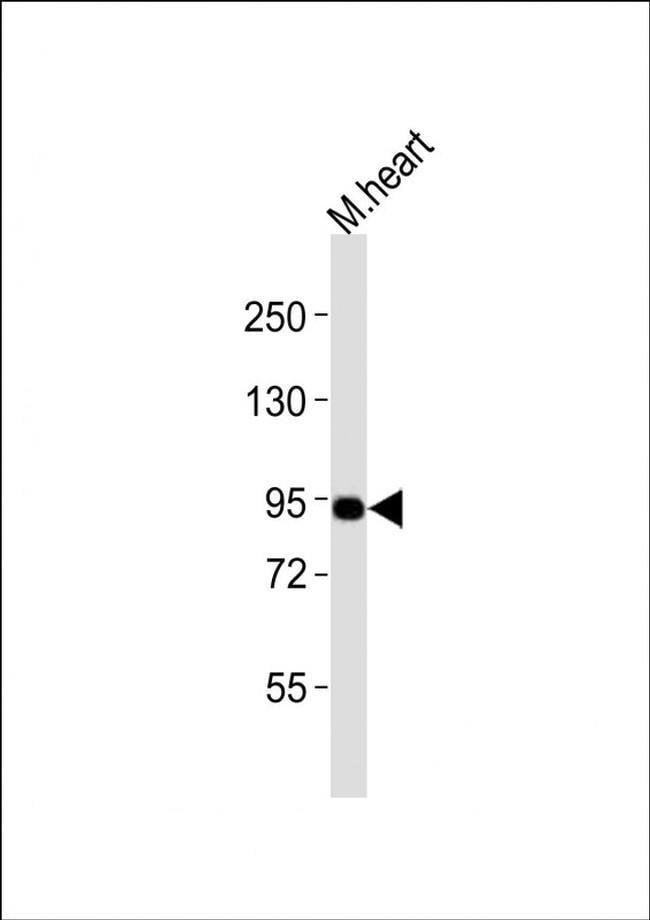 UHRF1 Rabbit anti-Mouse, Polyclonal, Invitrogen 400 µL; Unconjugated