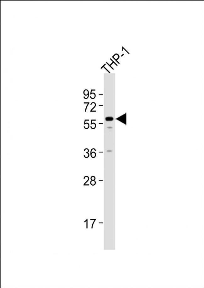 ZNF92 Rabbit anti-Human, Polyclonal, Invitrogen 400 µL; Unconjugated