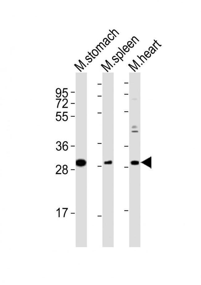 Nkx2.5 Rabbit anti-Human, Mouse, Polyclonal, Invitrogen 200µl; Unconjugated