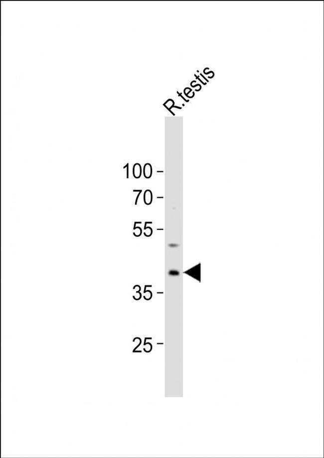 PCGF6 Rabbit anti-Rat, Polyclonal, Invitrogen 400 µL; Unconjugated