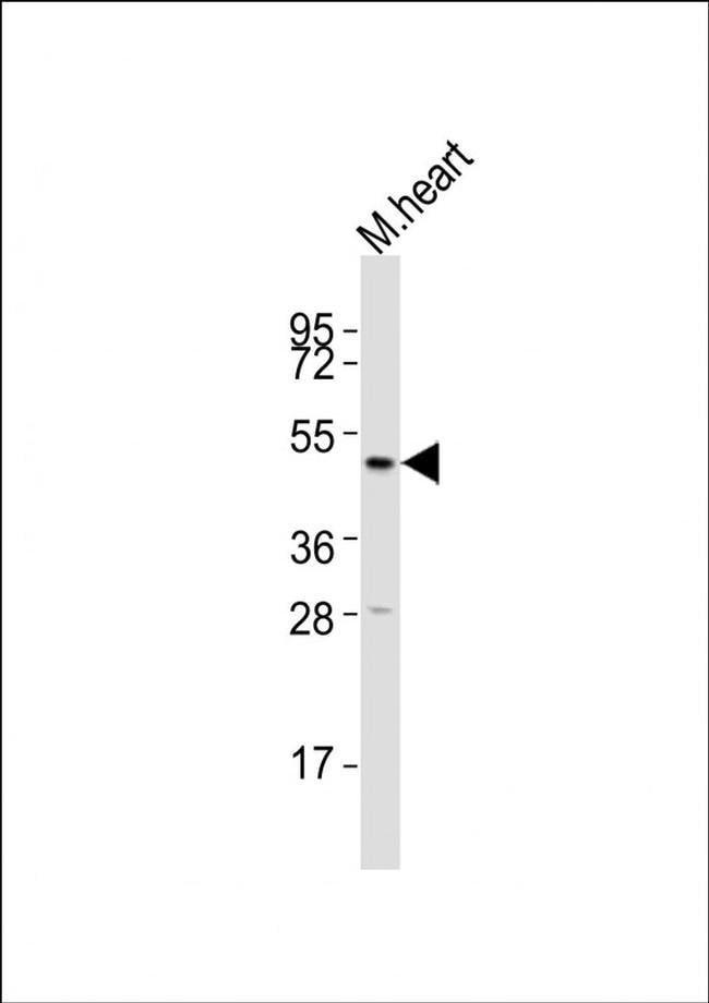 HTR2A Rabbit anti-Mouse, Polyclonal, Invitrogen 400 µL; Unconjugated