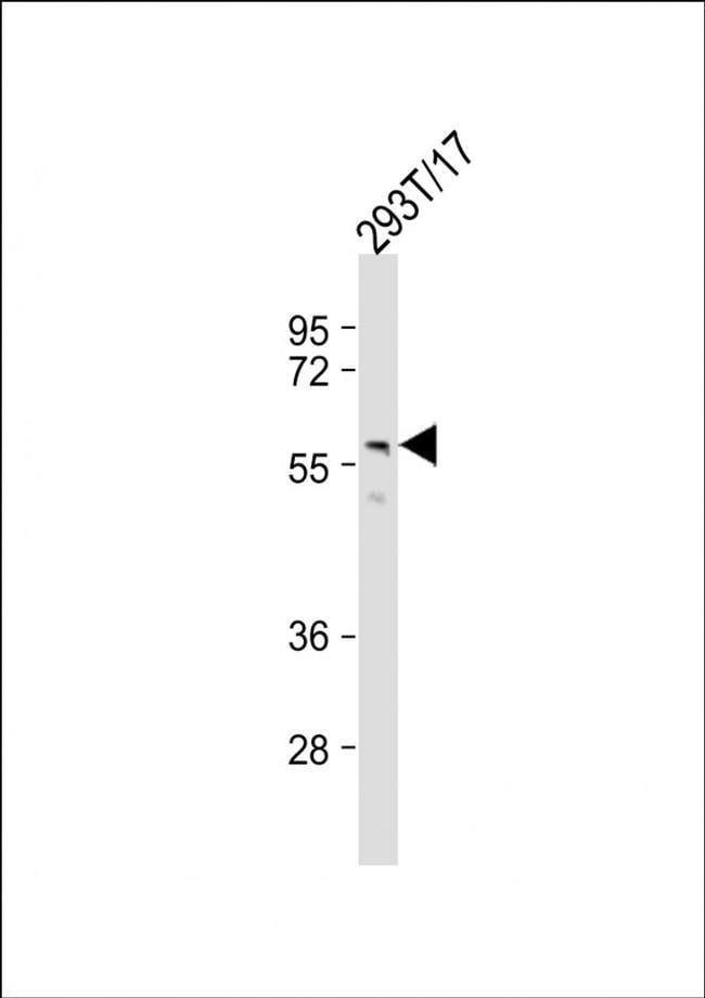 PTDSS1 Rabbit anti-Human, Polyclonal, Invitrogen 50 µL; Unconjugated