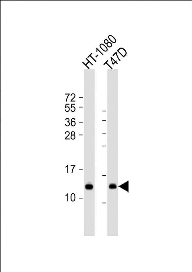 SPCS1 Rabbit anti-Human, Polyclonal, Invitrogen 50 µL; Unconjugated
