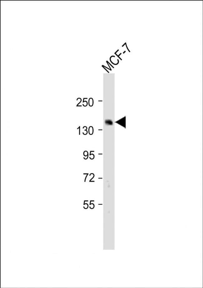 SCAF8 Rabbit anti-Human, Polyclonal, Invitrogen 200 µL; Unconjugated