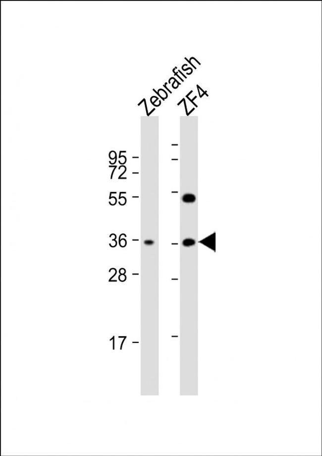 CLVS2 Rabbit anti-Zebrafish, Polyclonal, Invitrogen 200 µL; Unconjugated