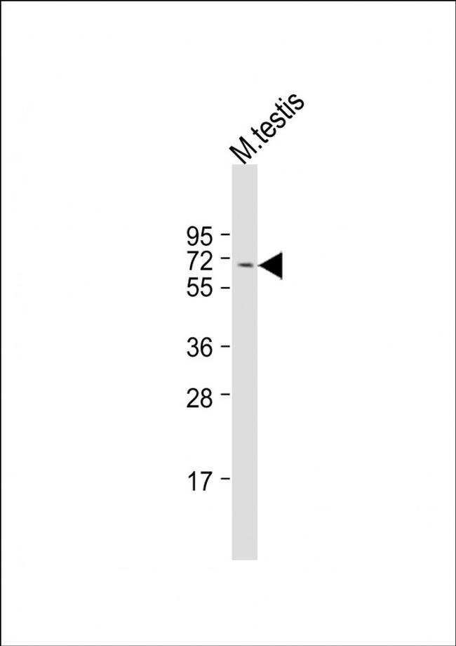 FBXO33 Rabbit anti-Mouse, Polyclonal, Invitrogen 200 µL; Unconjugated