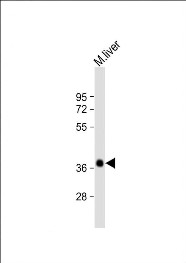 EI24 Rabbit anti-Mouse, Polyclonal, Invitrogen 200 µL; Unconjugated
