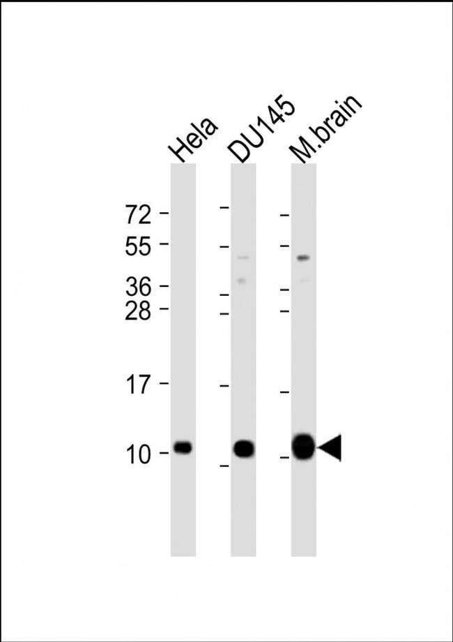 Gng12 Rabbit anti-Human, Mouse, Polyclonal, Invitrogen 200 µL; Unconjugated