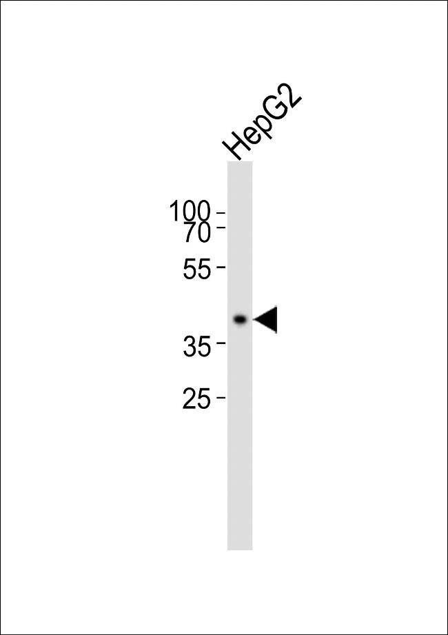 MRPS22 Rabbit anti-Human, Polyclonal, Invitrogen 100 µL; Unconjugated