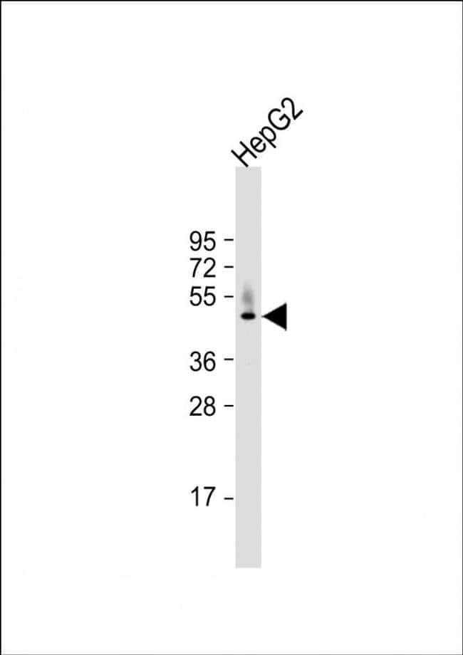 HPD Rabbit anti-Human, Mouse, Polyclonal, Invitrogen 400 µL; Unconjugated