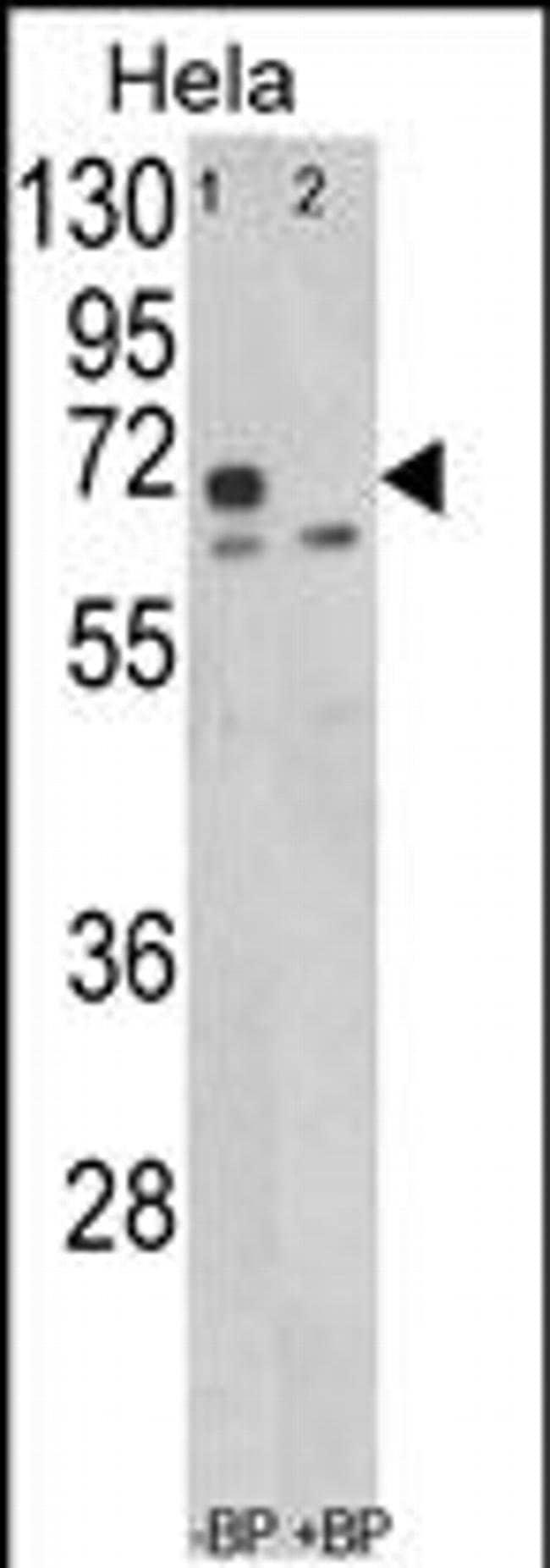 LMOD1 Rabbit anti-Human, Polyclonal, Invitrogen 400 µL; Unconjugated