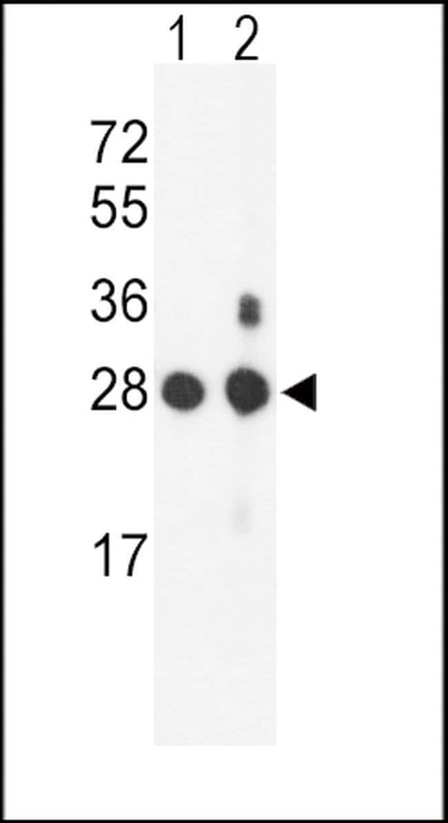 PSMB1 Rabbit anti-Human, Mouse, Polyclonal, Invitrogen 400 µL; Unconjugated