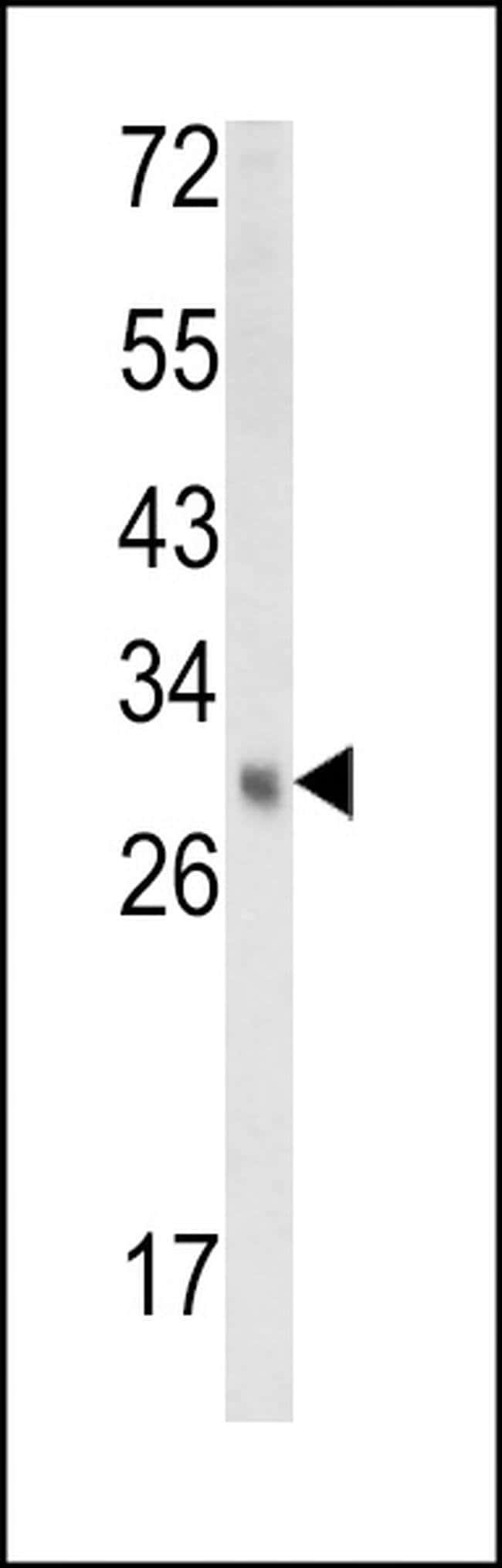 EBP Rabbit anti-Human, Mouse, Polyclonal, Invitrogen 400 µL; Unconjugated