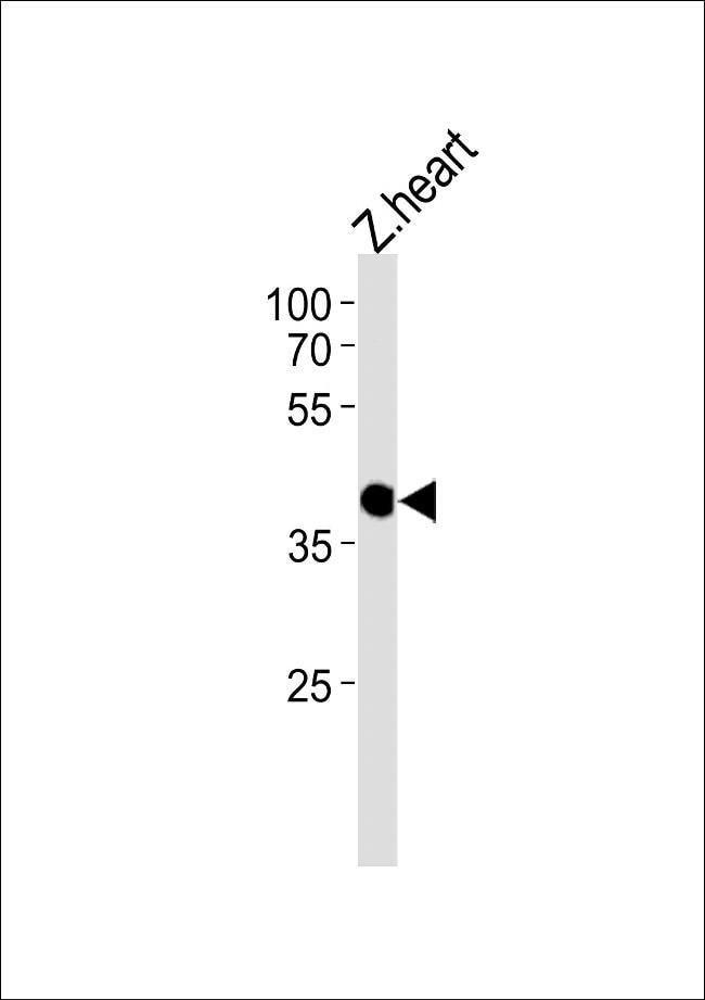 CCDC89 Rabbit anti-Zebrafish, Polyclonal, Invitrogen 400 µL; Unconjugated