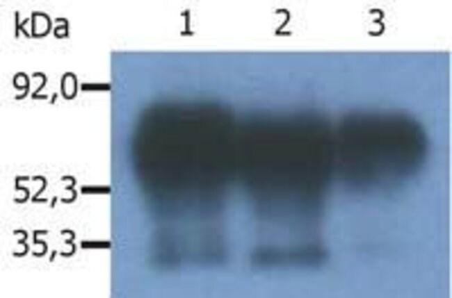 PAG1 Mouse anti-Bovine, Human, Mouse, Rat, Clone: PAG-C1, Invitrogen 100