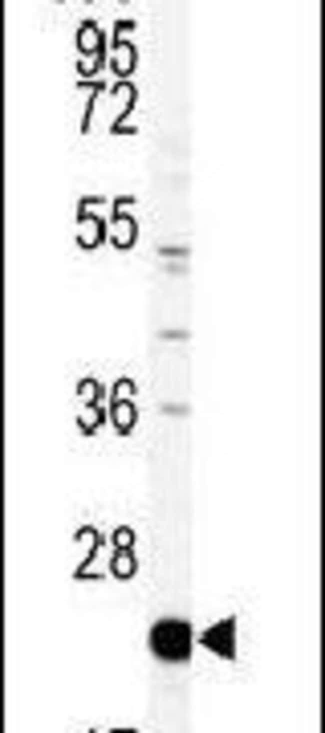 PEBP1 Rabbit anti-Human, Mouse, Polyclonal, Invitrogen 400 µL; Unconjugated